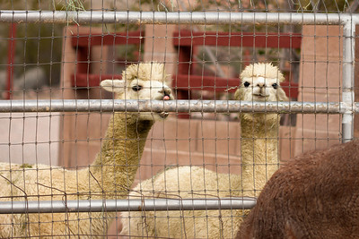 Nutty alpacas! :)