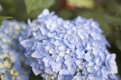 Chhomrong: Hydrangea - Ellen Winn (K'68; Haverford '97)