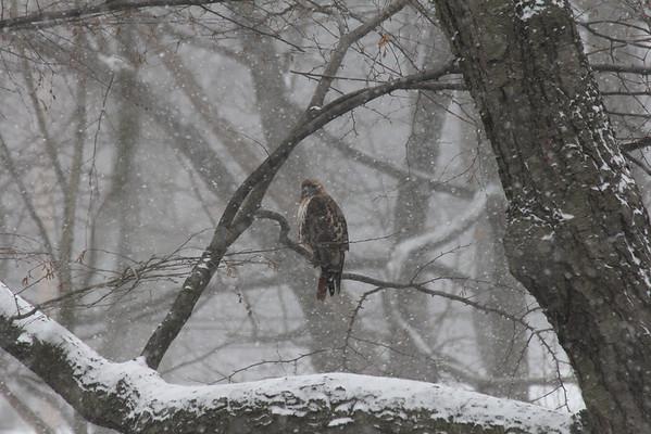 Hawk Pair in Schenley Park