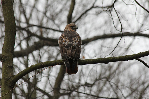 Red Tailed Hawk 2012-01-02