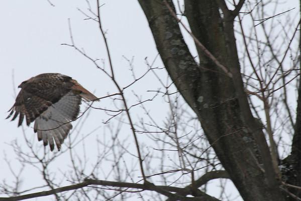 Schenley Park Flying Hawk 1-13-12