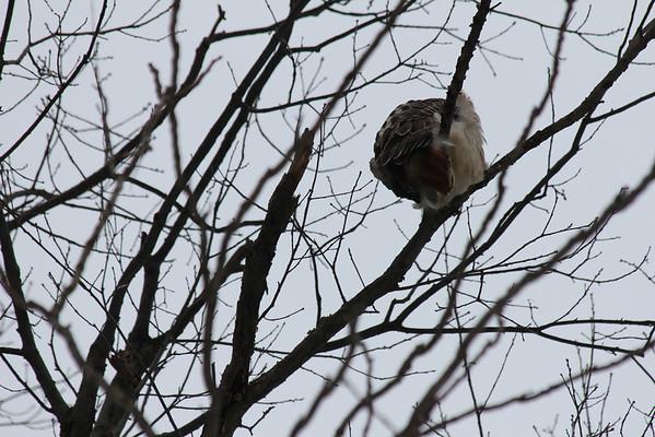 Snowy Day Hawk[s] 1-21-12