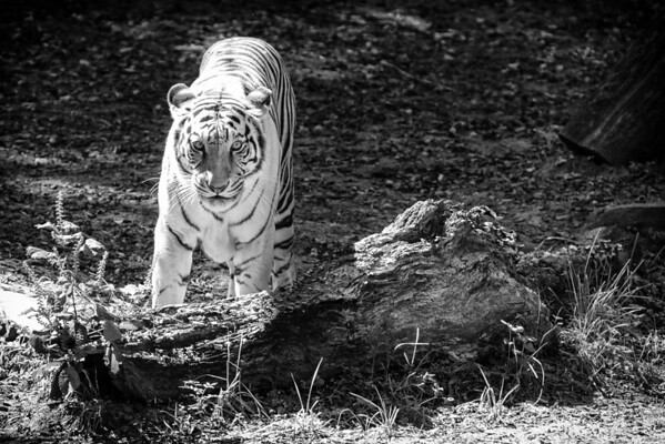 White Tiger at the Nashville Zoo