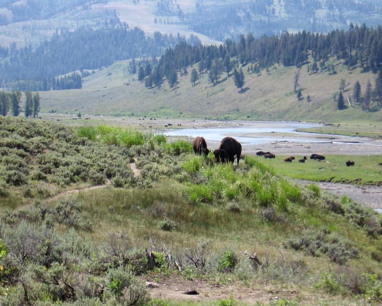 Yellwstone Bison