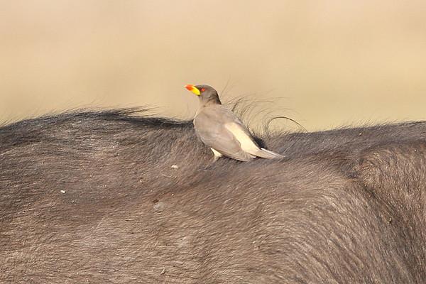 216 Buphagidae - Oxpeckers