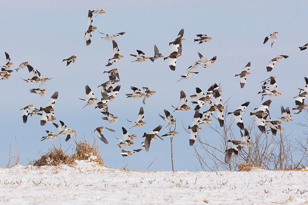 239 Calcariidae - Longspurs & Snow Bunting