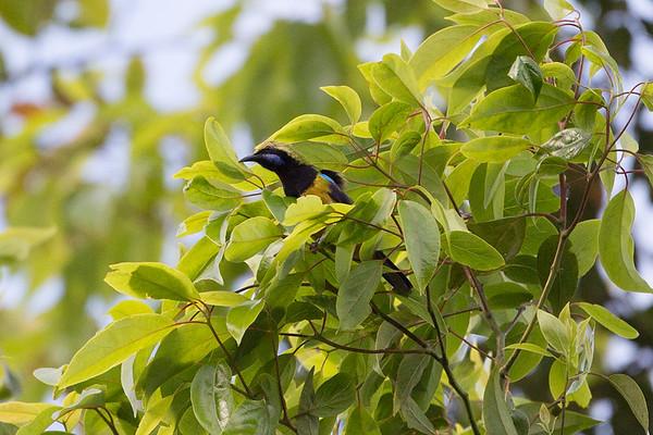 221 Chloropseidae - Leafbirds