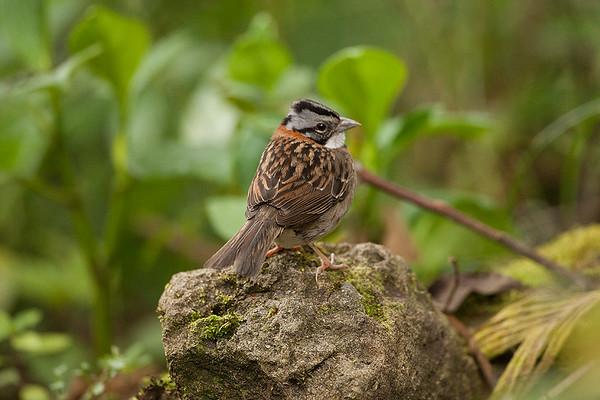 237 Emberizidae - Buntings, New World Sparrows