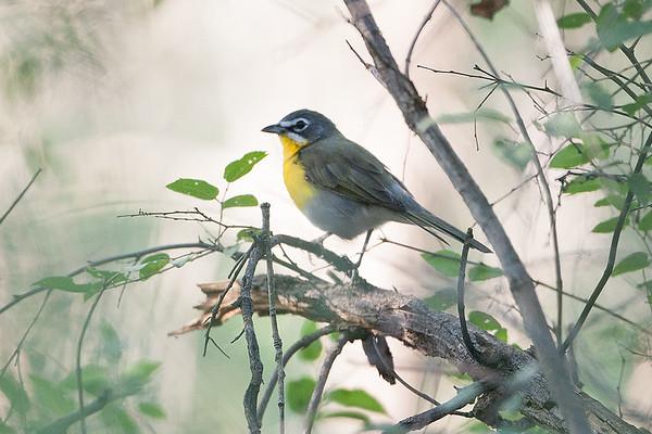 234 Incertae Sedis - Hispaniolan Warblers