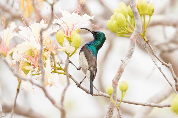 223 Nectariniidae - Sunbirds