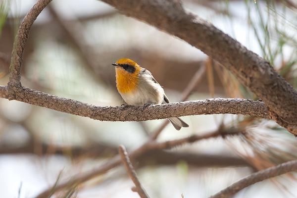 228 Peucedramidae - Olive Warbler