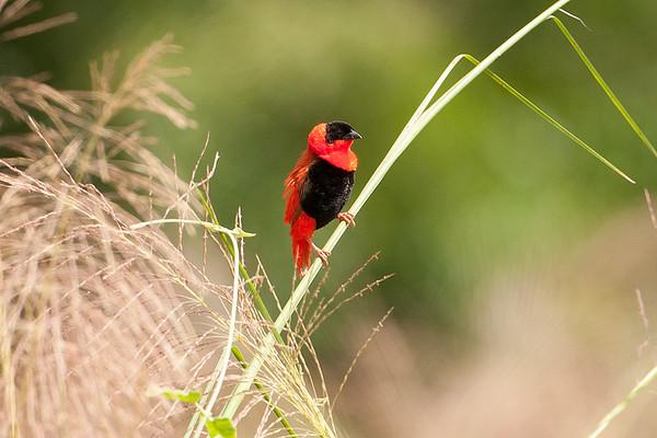 225 Ploceidae - Weavers and Widowbirds