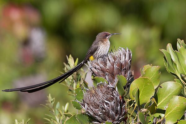 204 Promeropidae - Sugarbirds