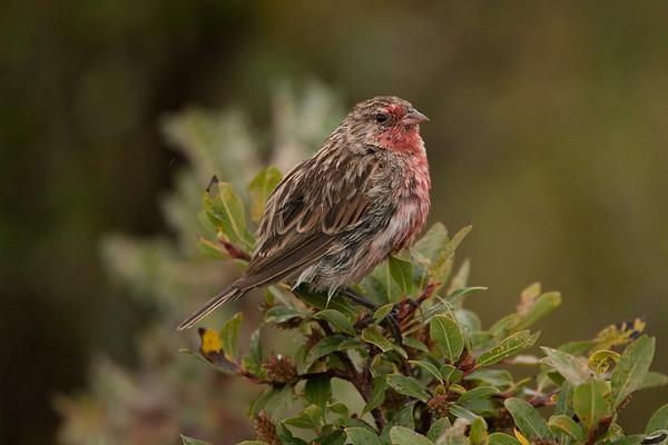 230 Urocynchramidae - Przevalski's Finch