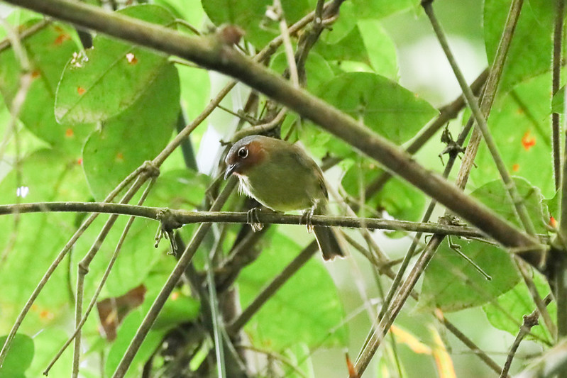 Chestnut-faced Babbler