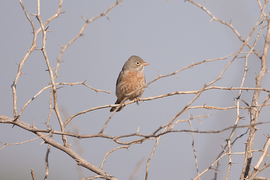 Grey-headed Bunting