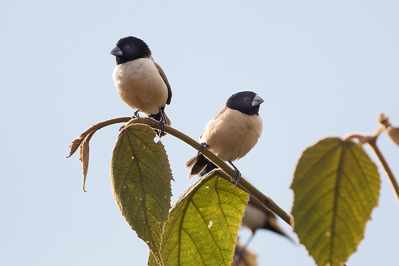 Hooded Munia