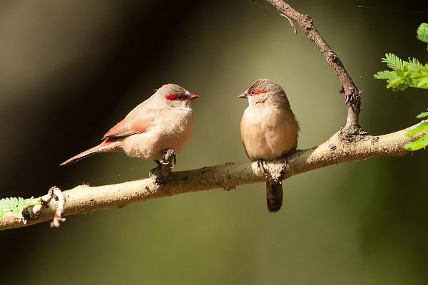 224 Estrildidae - Waxbills & Munias