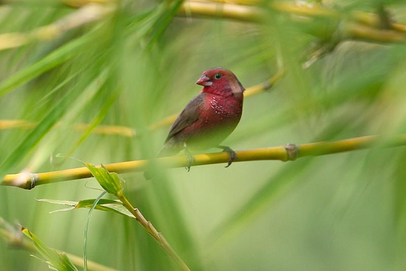 Bar-breasted Firefinch