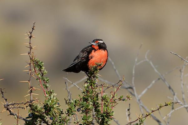 234 Icteridae - Oropendolas, Orioles and Blackbirds
