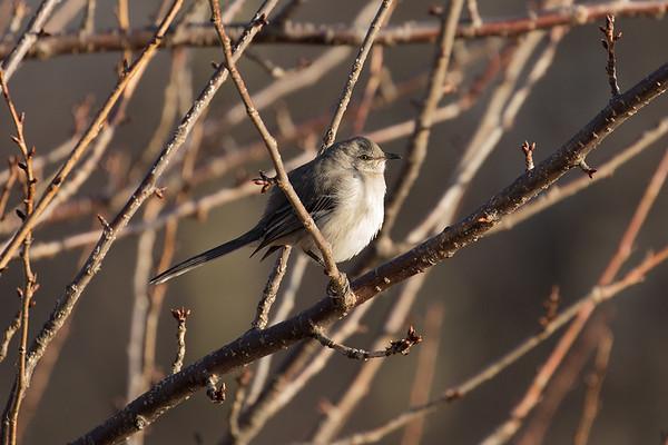 213 Mimidae - Mockingbirds & Thrashers