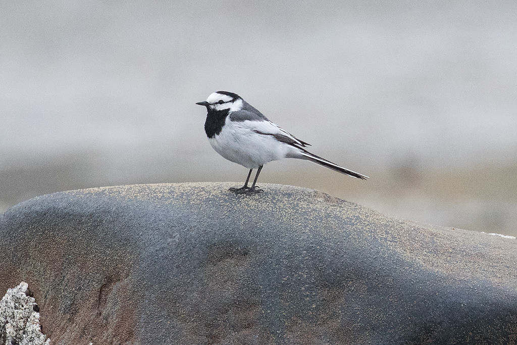 White Wagtail (race lugens)