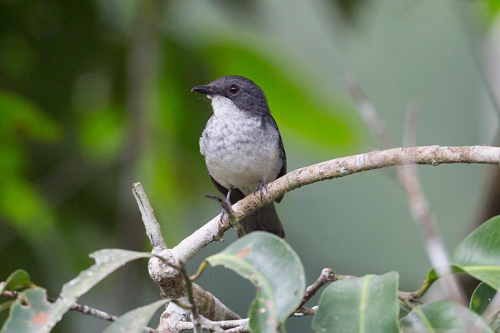 Fraser's Forest Flycatcher