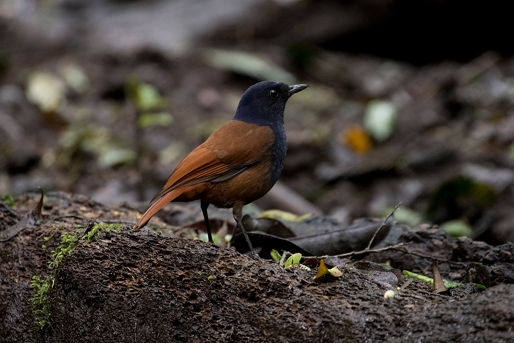 Brown-winged Whistling Thrush