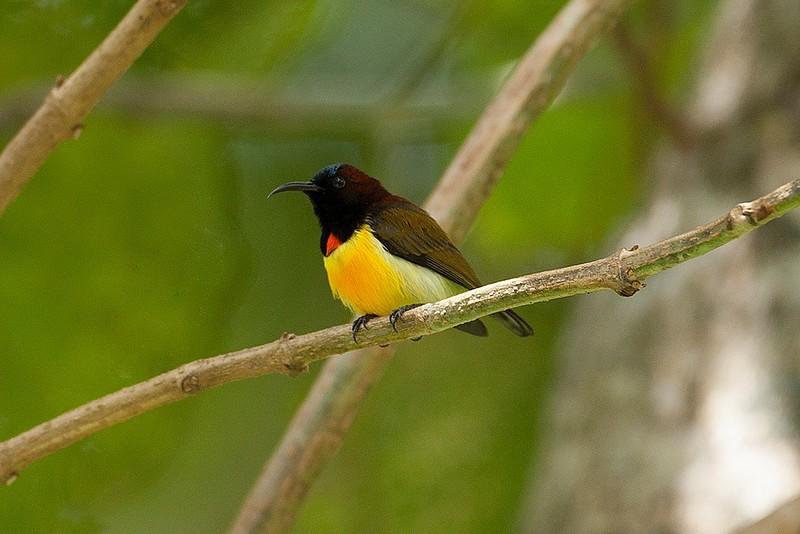 Maroon-naped Sunbird