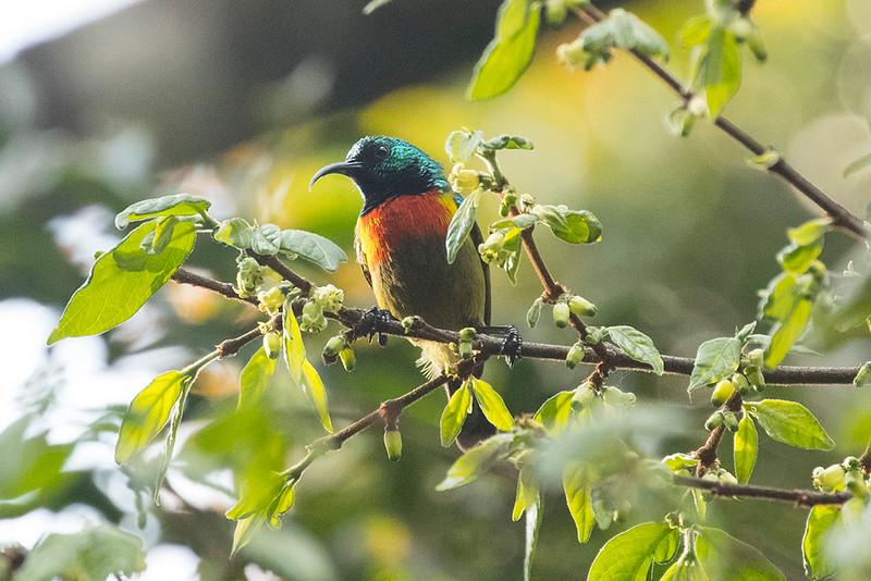 Moreau's Sunbird