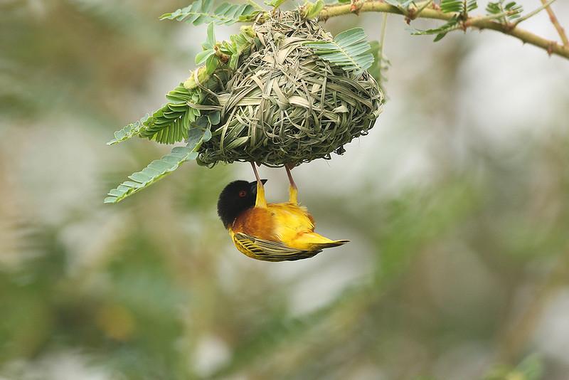Golden-backed Weaver