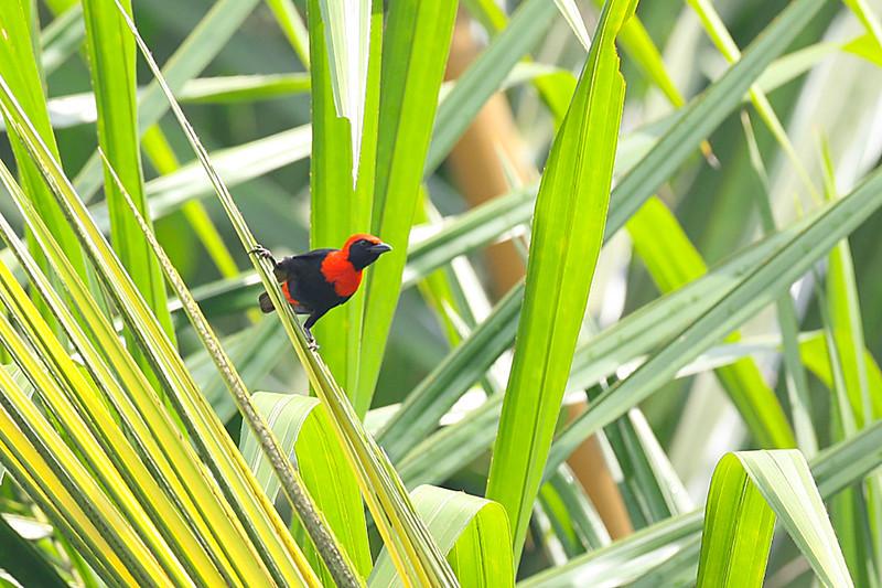 Red-vented Malimbe