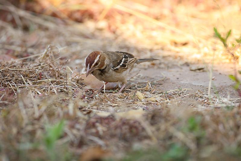 Chestnut-crowned Sparrow Weaver