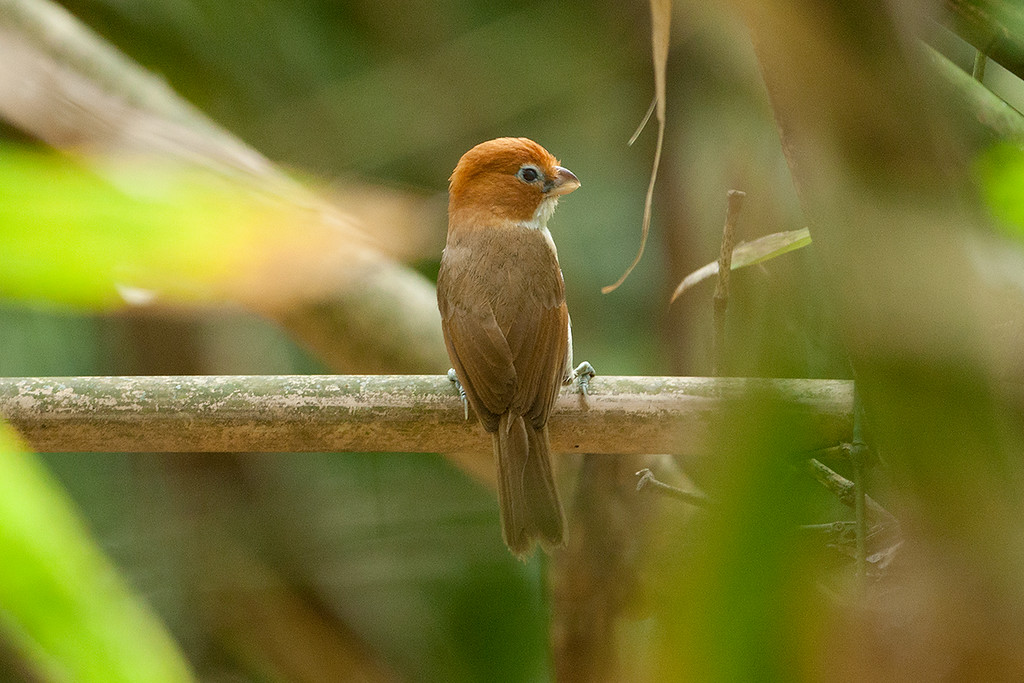 Pale-billed Parrotbill