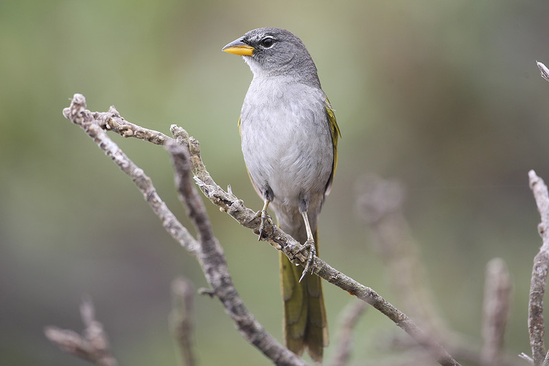 Serra Finch