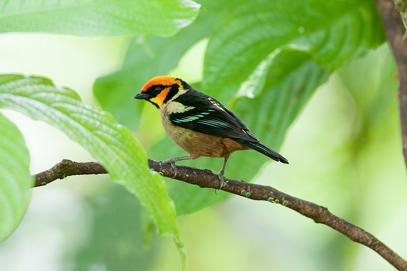 Flame-faced Tanager