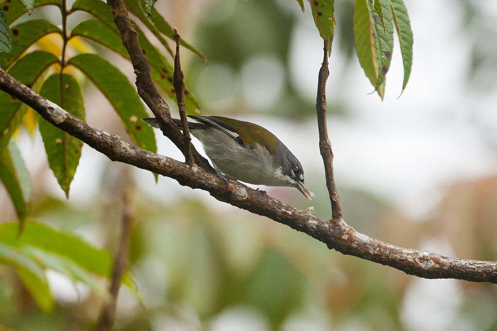 Grey-crowned Tanager