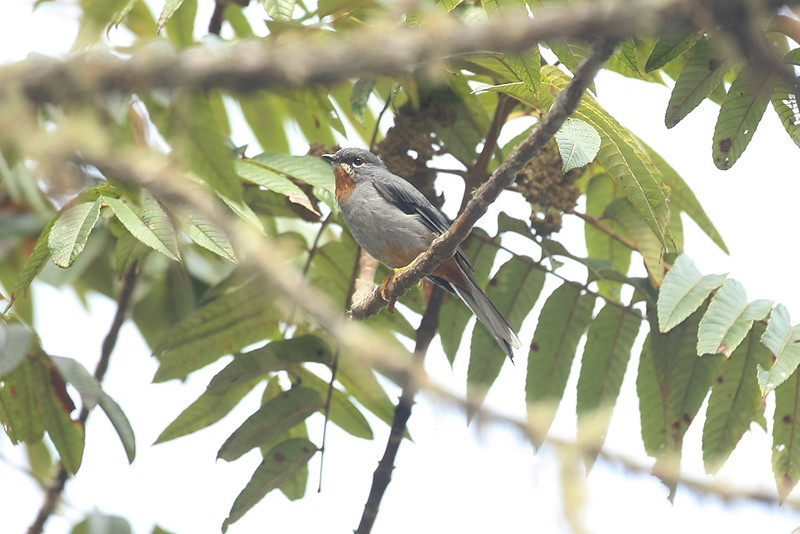 Red-throated Solitare
