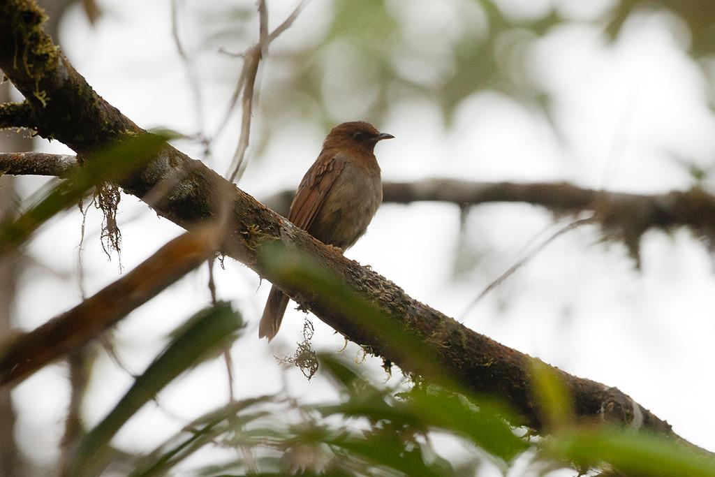 Rufous-brown Solitare