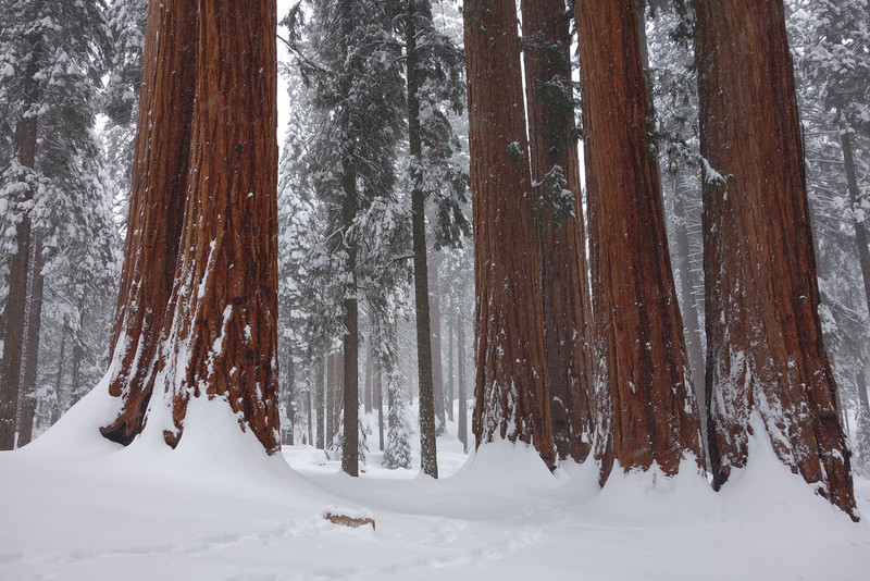"This is an awesome cluster of Giant Sequoias.  In the foreground, you can barely see the top of a wooden sign that's mostly buried in snow.  It says, ""Parker Group,"" which is the collective name for this stand of Giants."