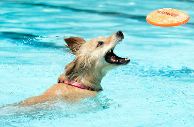 Kallie the golden retriever tries to catch the frisbee while swimming during Dog Dayz at Scott Carpenter Pool on Monday, Sept. 17, in Boulder. For more photos and video of Dog Dayz go to www.dailycamera.com Jeremy Papasso/ Camera
