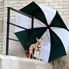 Zoe the Chihuahua stands under a large umbrella on Friday, July 27, while waiting for his owner Kyle Davis, not pictured, at the Post Office on 15th Street in Boulder. Boulder has recently experienced relief from the heat because of the late afternoon rain showers.<br /> Jeremy Papasso/ Camera