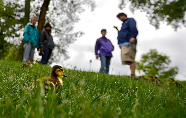 Passerby's watch a gaggle of duckings graze in the grass between Boulder Creek and the Library in Boulder, Colorado May 7, 2012. BOULDER DAILY CAMERA/MARK LEFFINGWELL