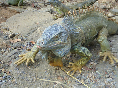 Seeing Iguanas in Roatan, Honduras.