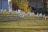 DSC_1649 Snow Geese Oct 26 2012