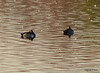 DSC_1657 Ring-necked Ducks Oct 26 2012