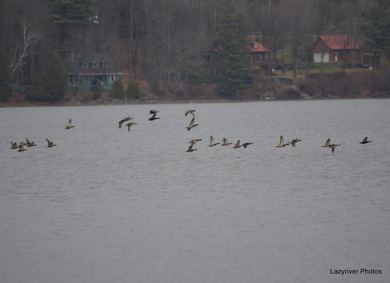 DSC_4787 Mallards Dec 2 2012