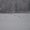DSC_4788 Mallards Dec 2 2012
