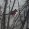 0393 Cardinal Feb 16 2012