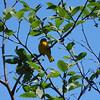 3784 Yellow Warbler June 1 2012